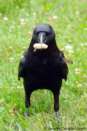crow_eating